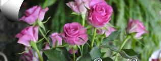 pasqua-in-rosa